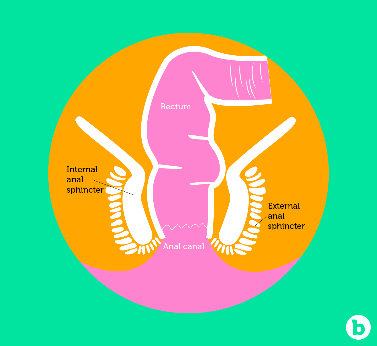 The anal sphincter muscles are designed to return back to its normal size
